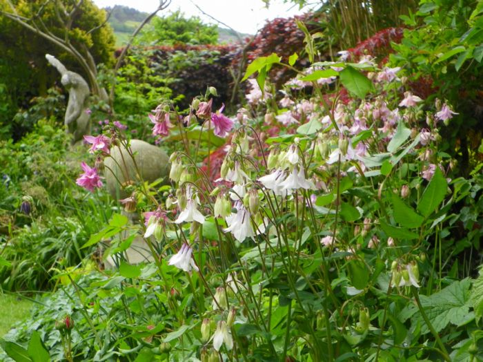 Aquilegia with the discus thrower in the distance