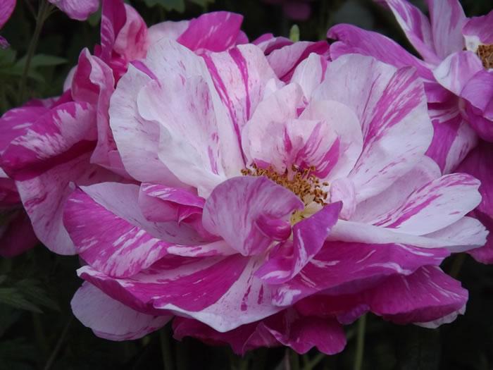 rosa gallica mundi