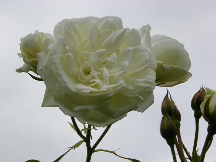 rosa Iceberg reaching towards grey skies after a light shower