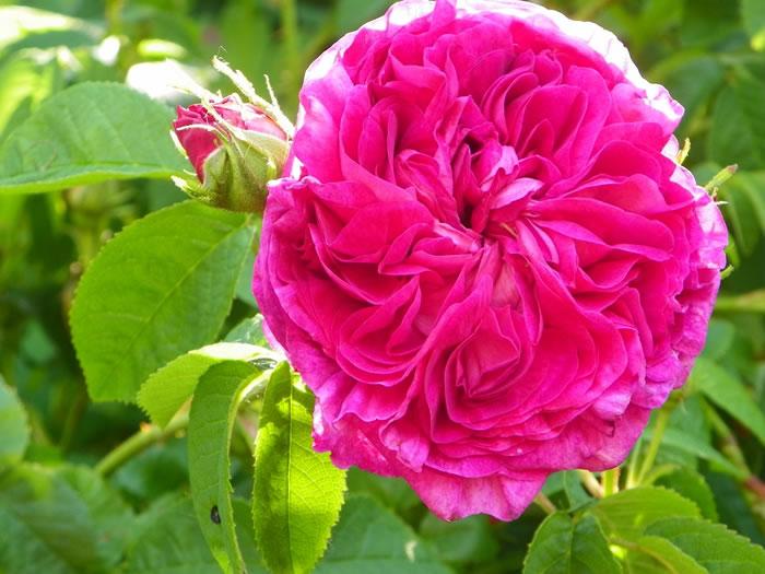 rosa gallica Charles de Mills
