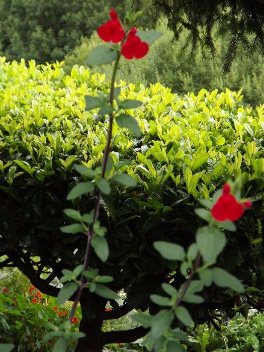 Salvia microphylla Blackcurrant Sage