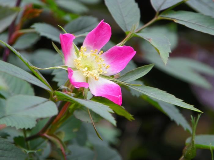 rosa glauca with grey foliage