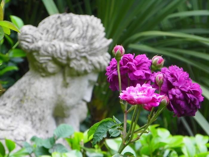 rosa gallica Cardinal de Richlieu