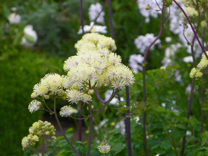Creamy filaments of meadow rue - thalictrum aquilegiifolium