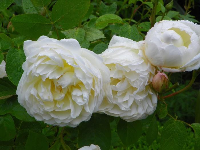 Creamy rosa 'Glamis Castle' following a light summer shower