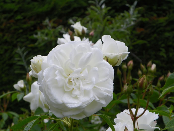 rosa 'Iceberg' after a light summer shower with silver pear tree pyrus salicifolia pendula
