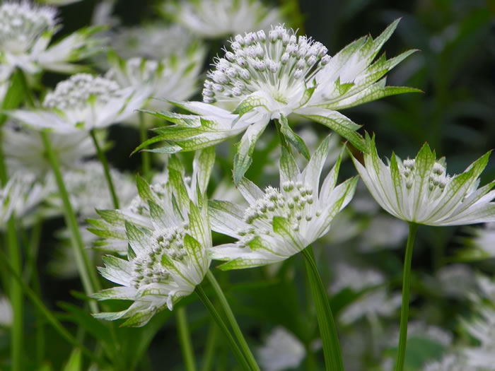 astrantia major combining both green and white into its flowers