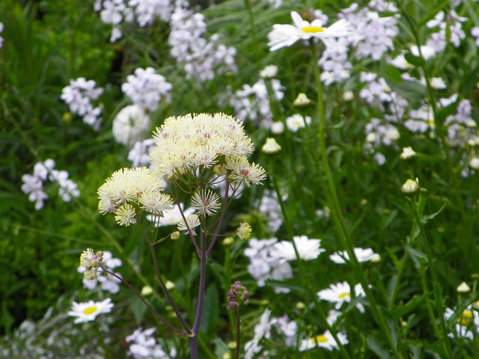 thalictrum aquilegiifolium album with ox-eyed daisies and scented phlox diffused in the background