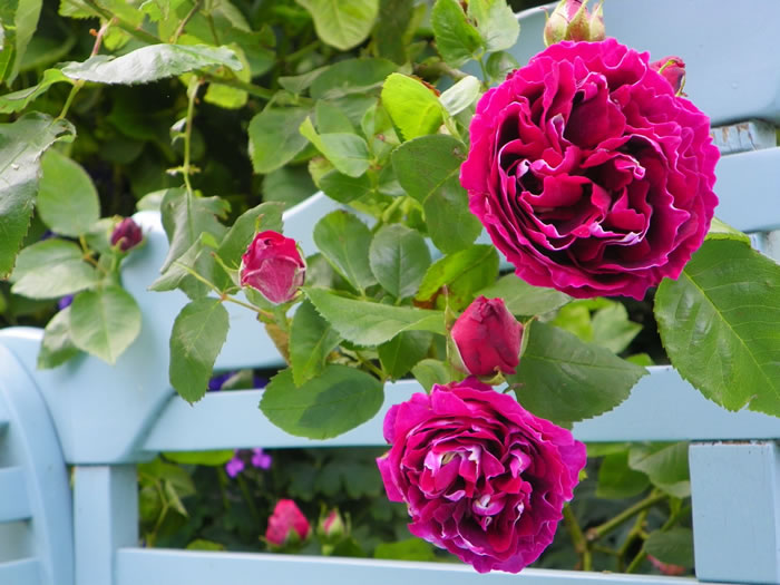 rosa Baron Girod de l,Ain scrambling through a Lutyens bench
