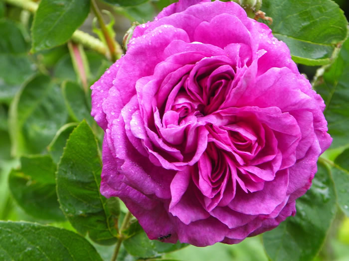 Reine des Violettes with shades of Parma violet